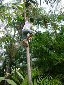 Acai Tree - Brazil