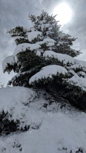 Snow Packed Blue Spruce